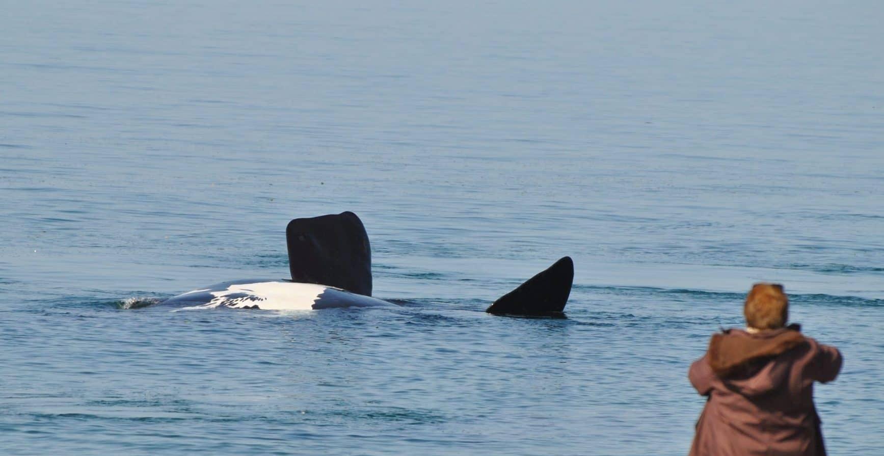 ballenas doradillo