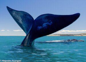 ballenas peninsula valdes