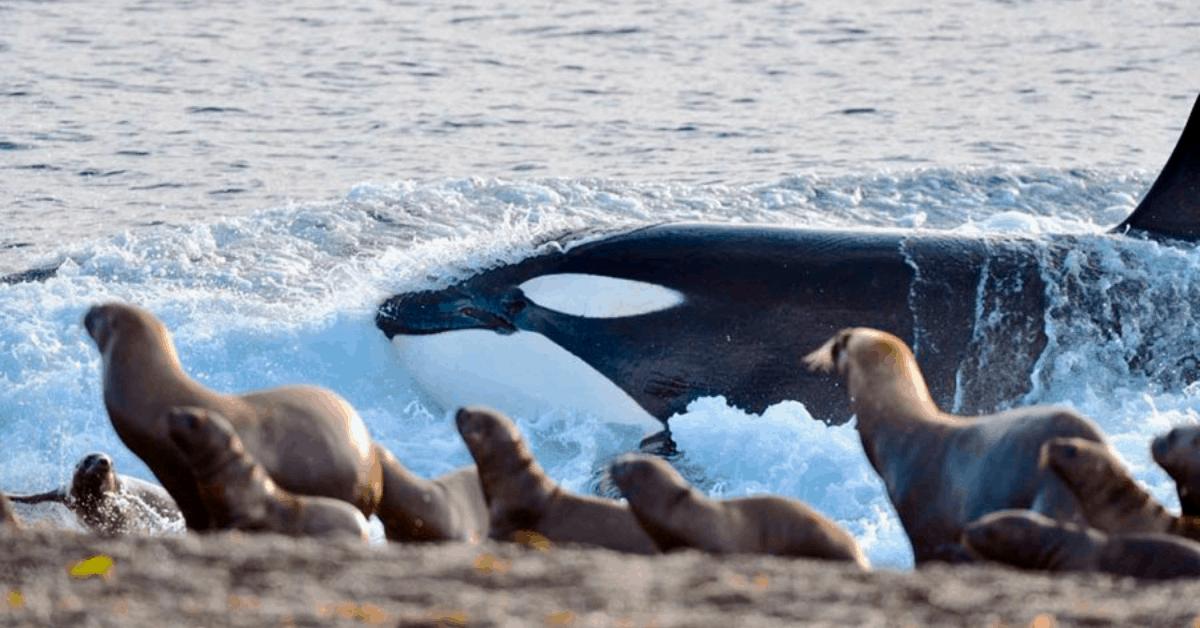 Orcas - Puerto Madryn 2