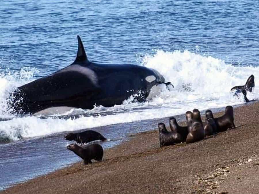 Llegaron Nuevas Orcas