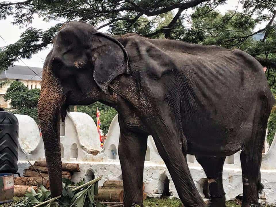 El cuerpo de un elefante hambriento de 70 años fue escondido detrás de un disfraz