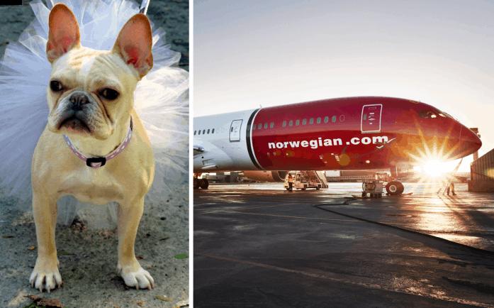 Un vuelo en Londres se vio retrasado debido a un grupo de bulldogs franceses con tutus