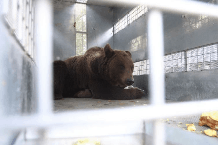 Argentina: Trasladaron a 10 osos pardos de un ecoparque a un Santuario Internacional en Colorado, Estados Unidos