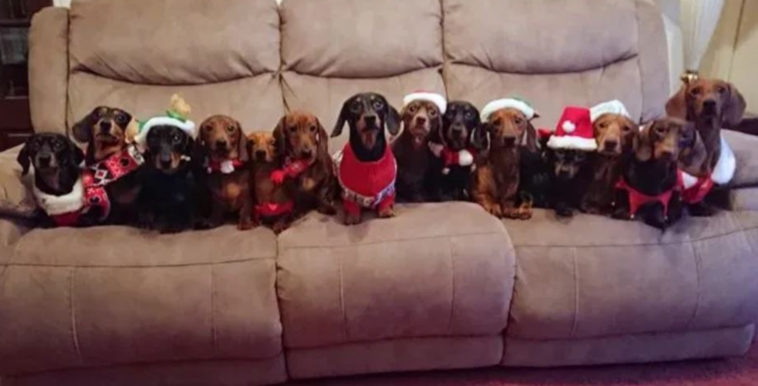 imagen sausage dogs