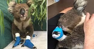 Decenas de koalas mueren por la tala de un bosque de eucaliptos en Australia