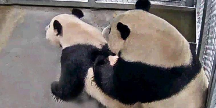 Imagen Panda