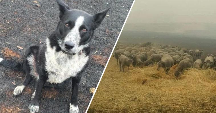 Imagen Patsy The Good Dog Saves Sheep