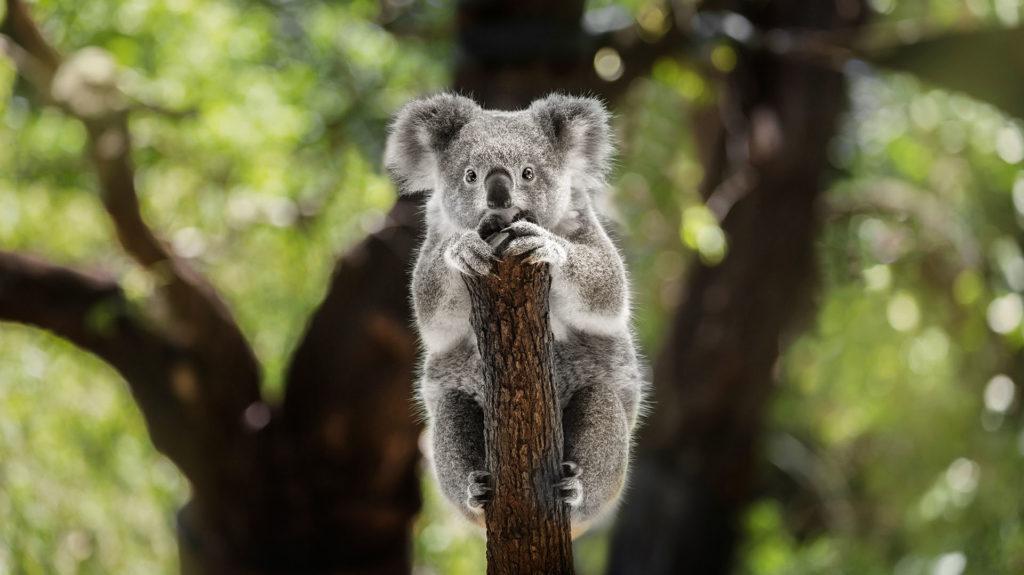 Los koalas podrían aparecer en la lista de especies en peligro de extinción