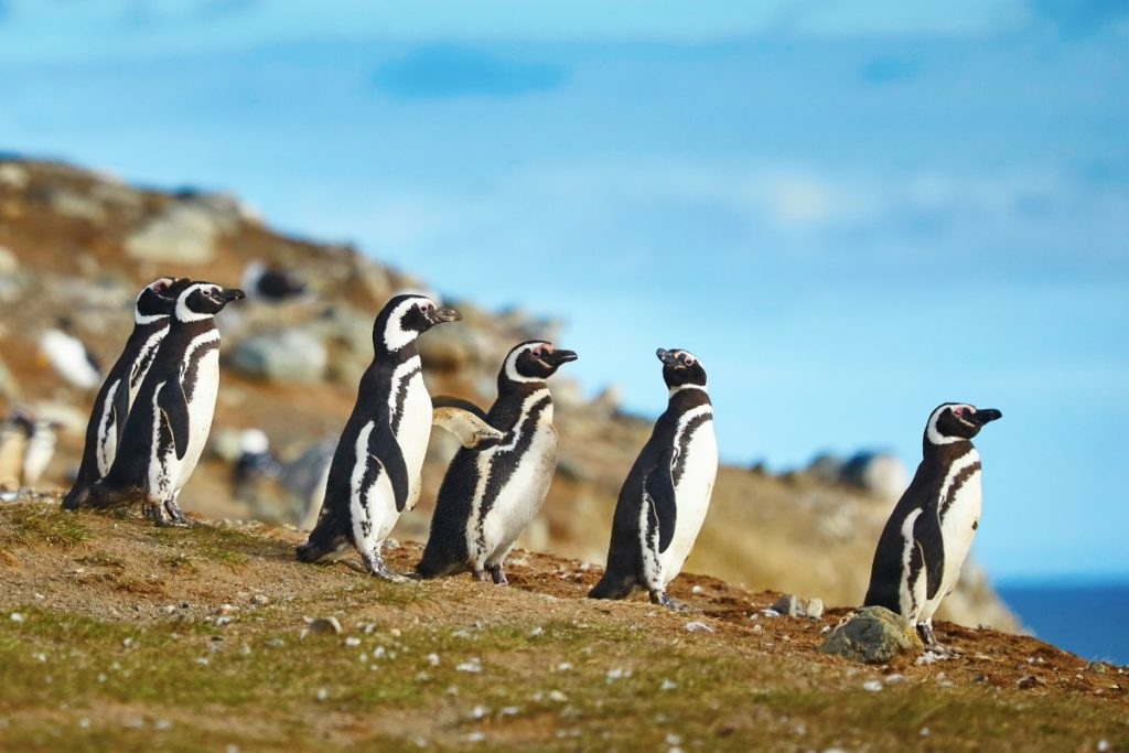La Isla Magdalena, uno de los lugares más elegidos para el avistamiento de pingüinos en Chile