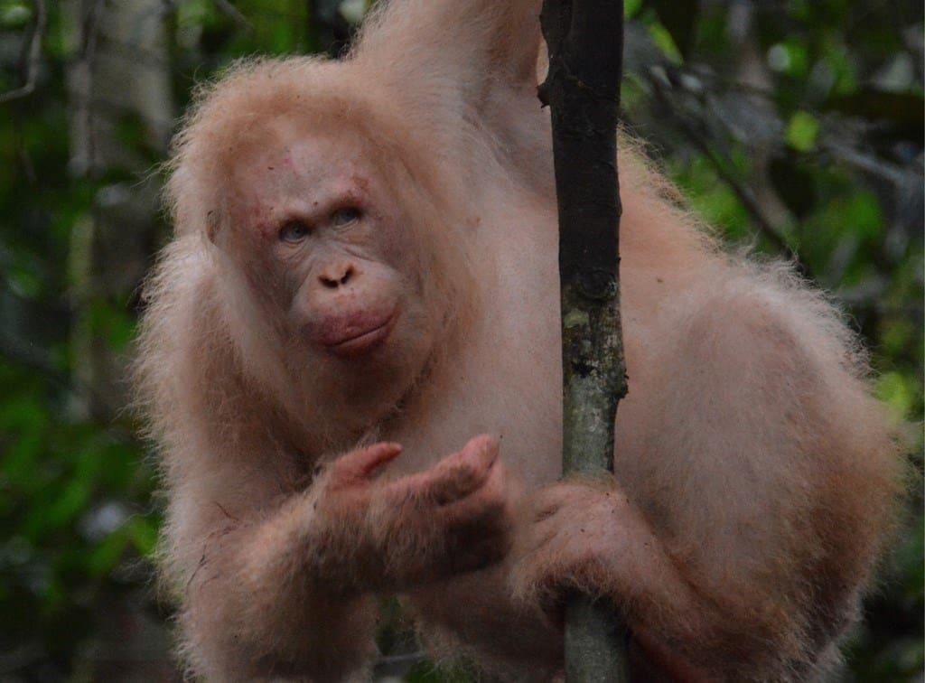 imagen orangutan albino