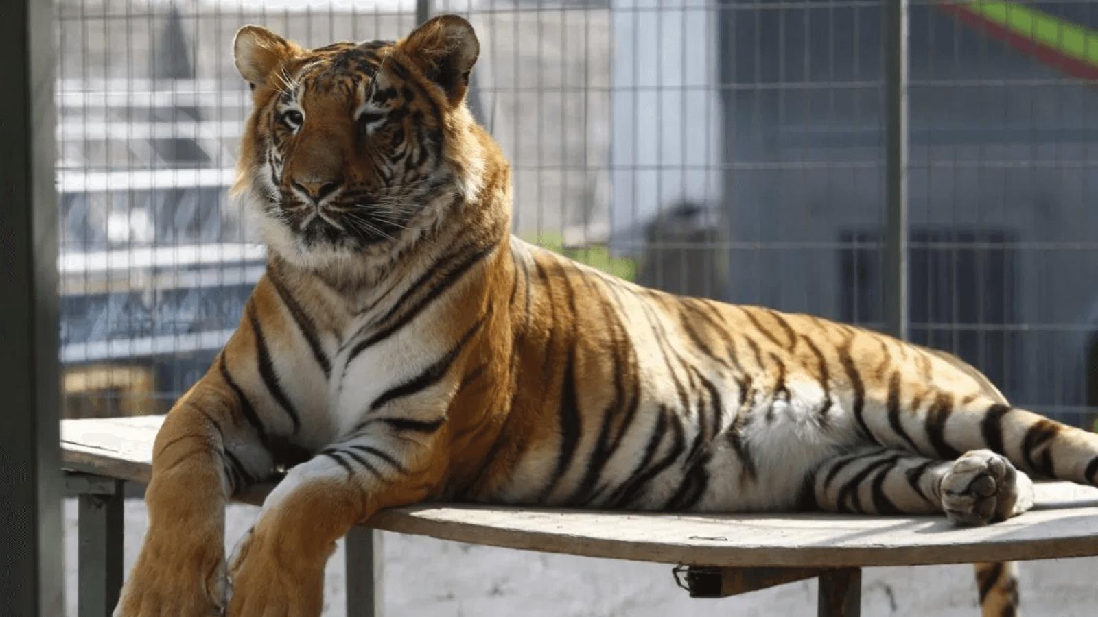 Nueva York Un tigre del Bronx Zoo dio positivo por coronavirus y otros seis felinos presentan síntomas 2