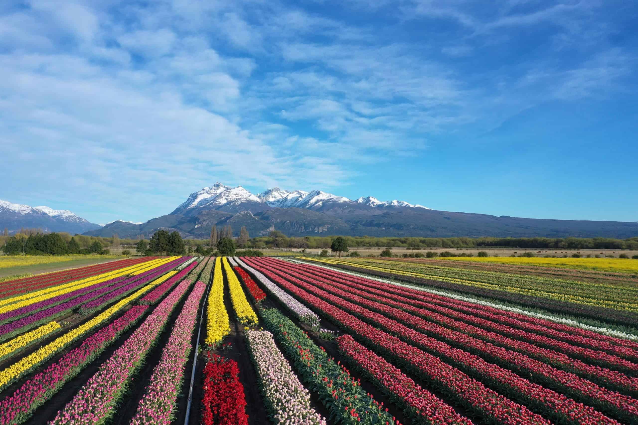 campo-de-tulipanes-trevelin-min (1)