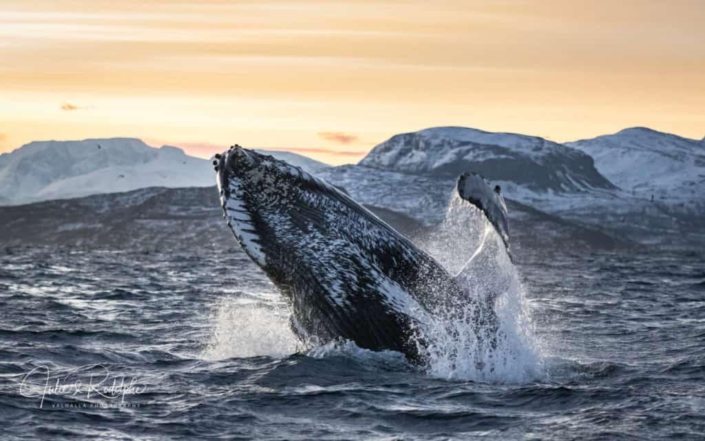 Nadar con Orcas en libertad: conoce cómo es esta experiencia en Noruega