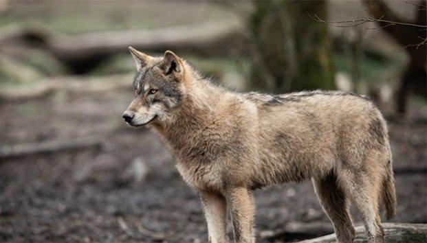 Por primera vez en casi 100 años avistan un lobo gris que se creía extinto en Francia