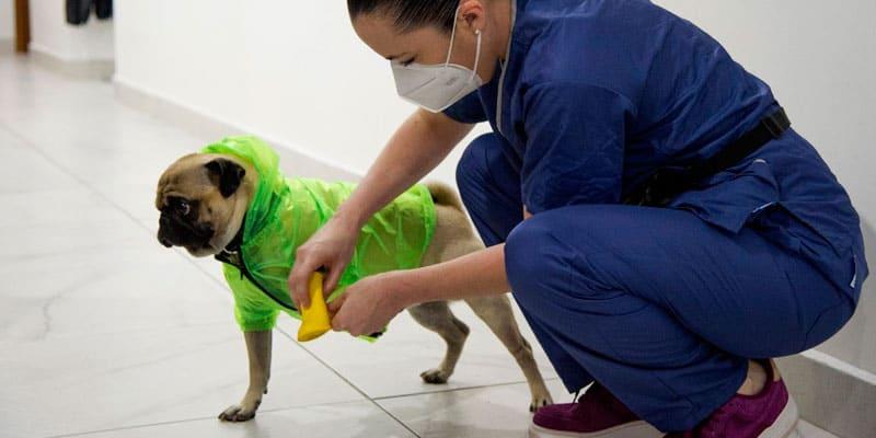 Un hospital en México sumó a un perro pug entrenado como terapeuta para aliviar el estrés de los médicos