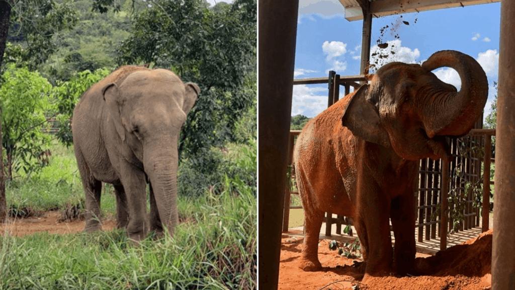 imagen Conoce la nueva vida de Mara la elefanta que vivi%C3%B3 54 a%C3%B1os cautiva y ahora disfruta de su libertad en un santuario de Brasil w