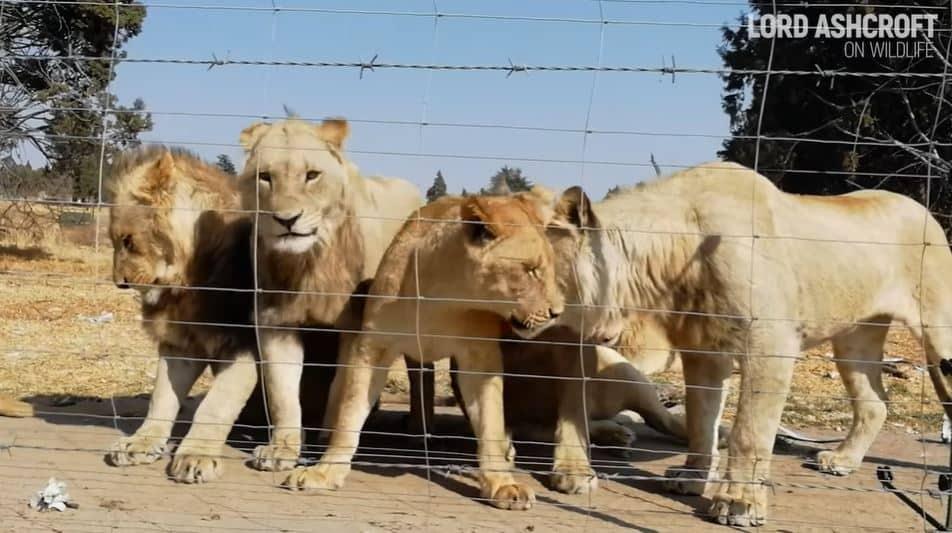leónes