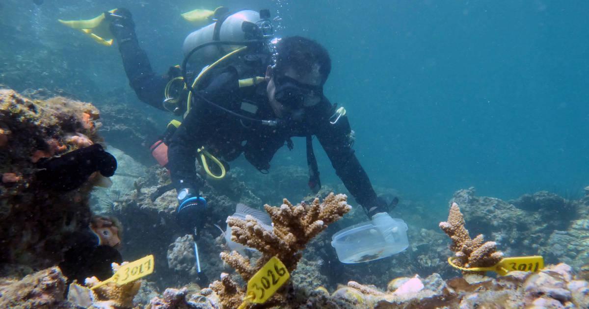 Foto del lunes de un buzo inspeccionando corales insertados cerca del puerto de Dibba en Fujairah, EAU.  Jun 15, 2020. REUTERS/Christopher Pike