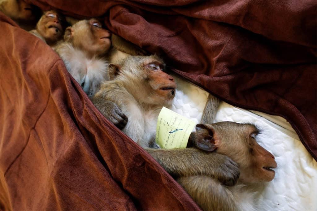 Tailandia esterilizará 500 monos