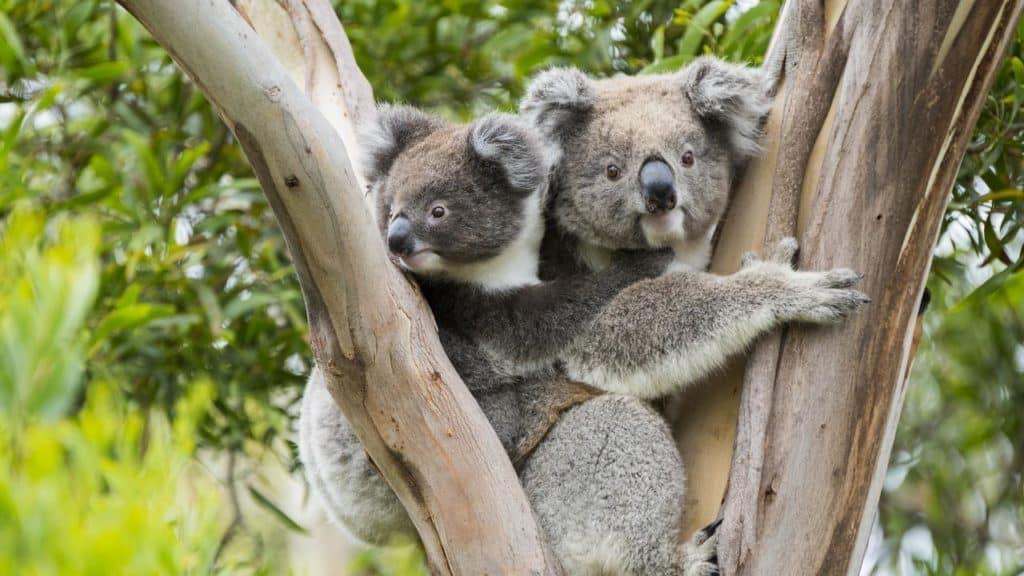 Australia utilizará drones para medir la disminución de la población de los koalas debido a los incendios y la deforestación