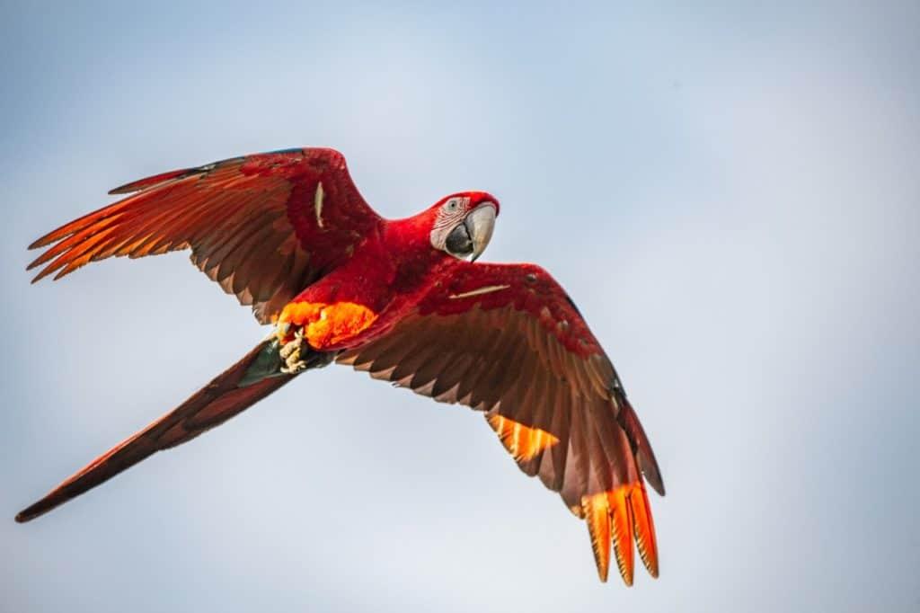 Liberan cinco guacamayos rojos en el Parque Nacional Iberá, una especie extinta en la Argentina