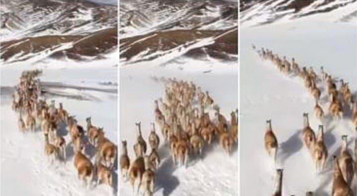 VIDEO: Captan a una tropilla de guanacos corriendo libres por la Cordillera de Los Andes