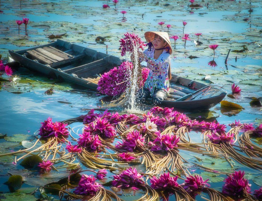 cosecha anual de nenúfares en Vietnam