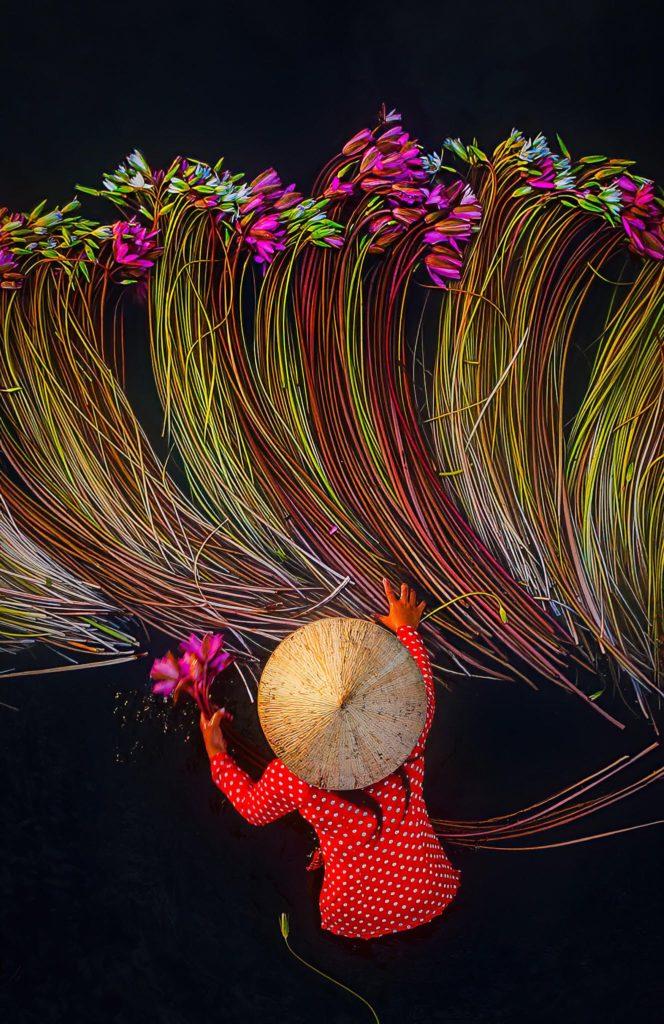 imagen cosecha anual de nenúfares en Vietnam Fot%C3%B3grafo captura incre%C3%ADbles im%C3%A1genes durante la cosecha anual de nen%C3%BAfares en Vietnam 4 1
