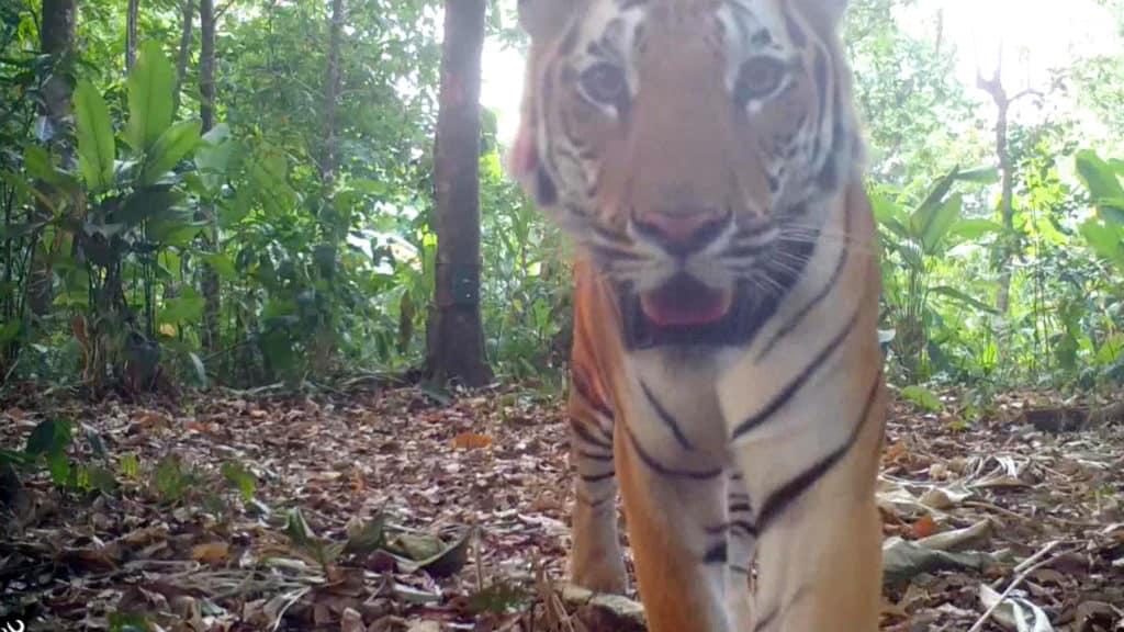 Presencia De Tigres Salvajes