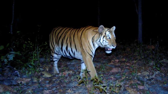 Tailandia Ante la ausencia de cazadores, identifican la presencia de tigres salvajes por primera vez en cuatro años 1