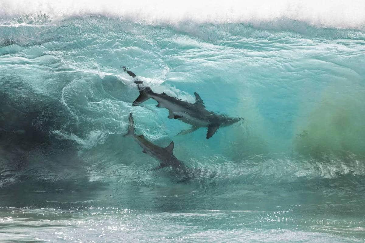 sean-scott-shark-photography-1