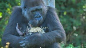 Una gorila en especie en peligro crítico tuvo un bebe
