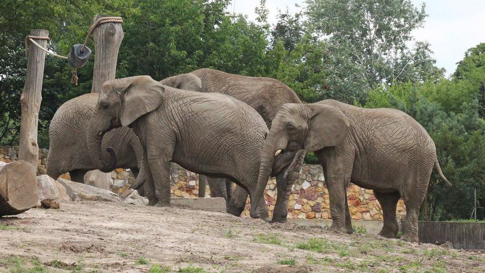 Un zoológico en Polonia le dará marihuana medicinal a elefantes para ayudar a aliviarles el estrés
