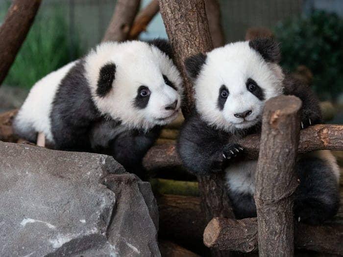 Los pandas gemelos del zoológico de Berlín cumplieron 1 año y hubo festejo
