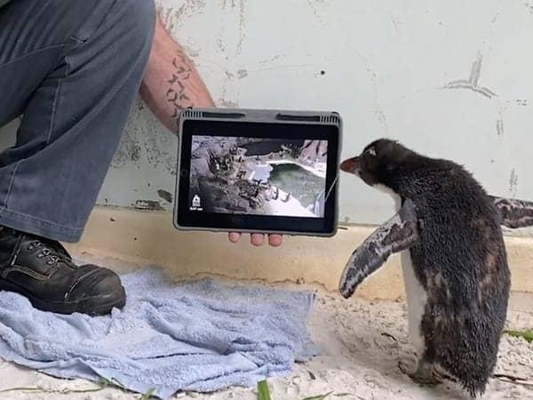 Este pingüino mira dibujos animados mientras se recupera en el zoológico de Australia