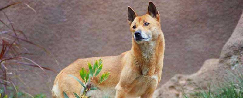 Perros cantores de Nueva Guinea: reaparecieron luego de que se los creyera casi extintos por 50 años
