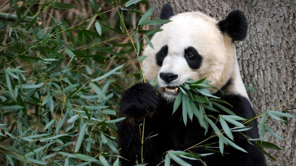 Nació un panda en el Zoológico Nacional Smithsoniano de Estados Unidos
