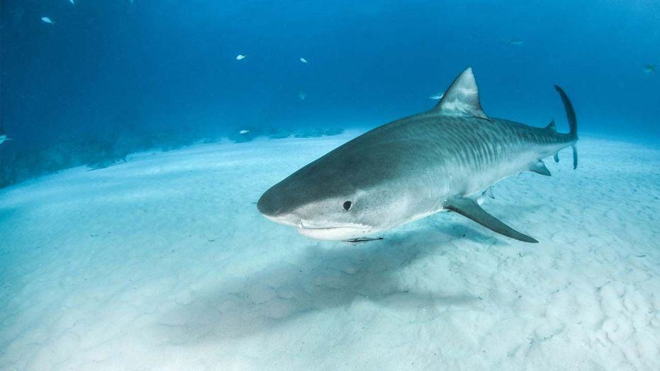 """Estrenan """"Missing sharks"""", un documental que muestra la problemática en torno a la caza de tiburones en Panamá"""