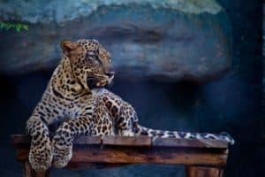Un leopardo ingresó a un restaurante en Sudáfrica y fue filmado por una de las personas que se encontraba allí