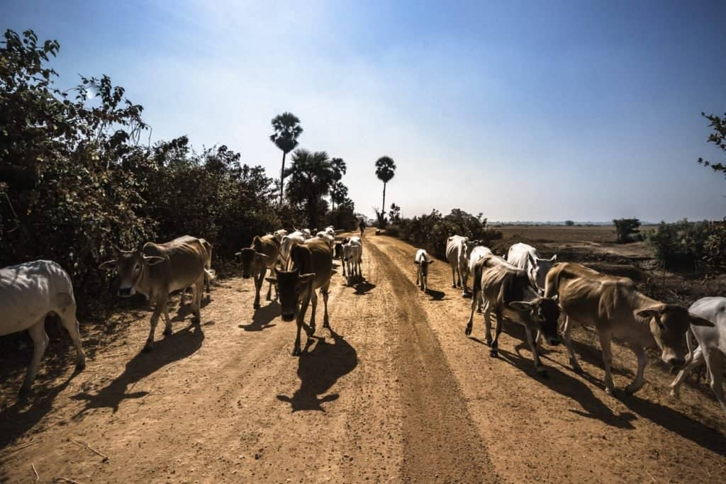 myanmar vacas