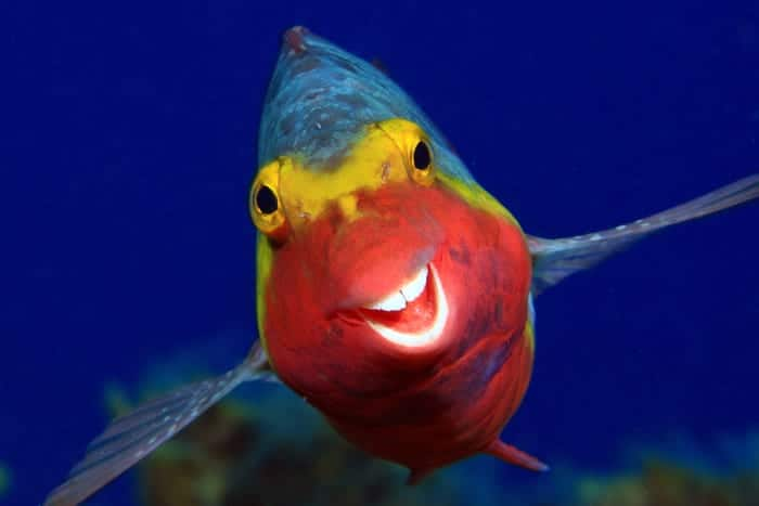 "Arthur Telle Thiemann photographed a cheerful Mediterranean parrotfish in ""Smiley."" _Smiley_00000091 ""Smiley."" © Arthur Telle Thiemann/Comedy Wildlife Photo Awards 2020"