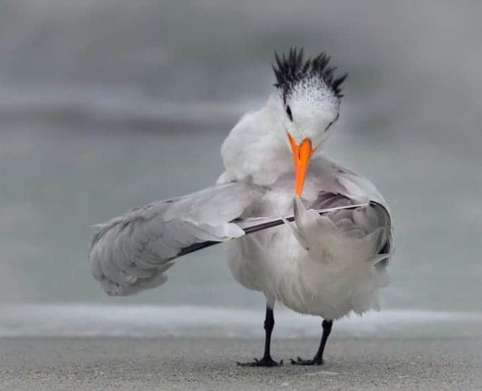 """Tern Tuning Its Wings."" © Daniele D'Ermo/Comedy Wildlife Photo Awards 2020"