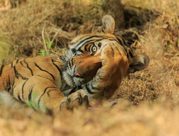"""""""Peekaboo."""" © Jagdeep Rajput/Comedy Wildlife Photo Awards 2020"""