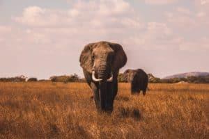 Se conoce la probable causa de muerte de más de 300 elefantes en Botswana y está relacionada al cambio climático