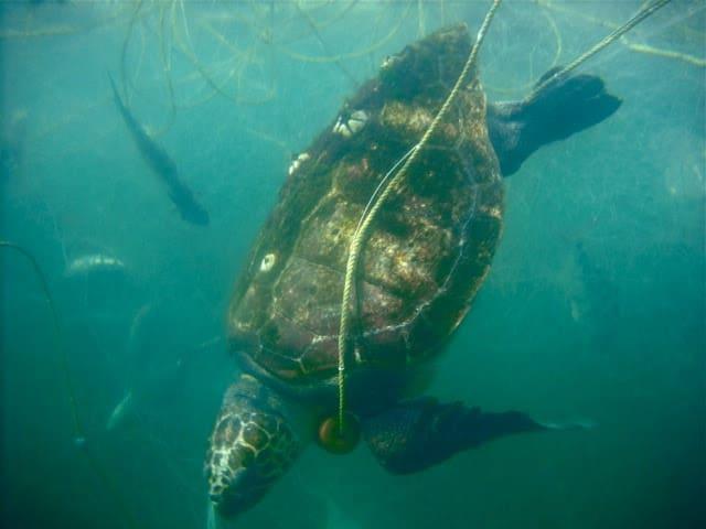 México: encontraron un total de 351 tortugas marinas muertas en lo que va del año en Baja California Sur