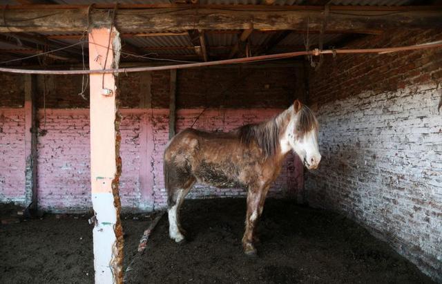 """Estrenan """"5 Corazones"""", un documental que denuncia el maltrato en comercio de caballos en Argentina"""