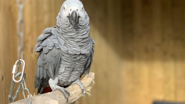 En un refugio para animales silvestres de Inglaterra tuvieron que llevarse a unos loros a otro lado porque decían groserías a la gente