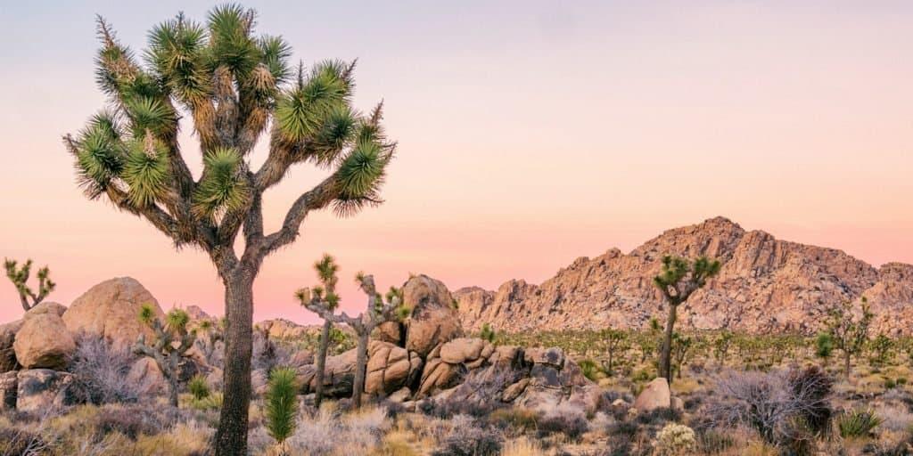 Árbol de Josué: este árbol californiano podría ser el primero en entrar al grupo de especies protegidas