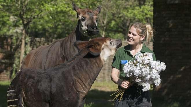 El zoológico de Londres celebró el nacimiento de un okapi cuya especie se encuentra en peligro de extinción