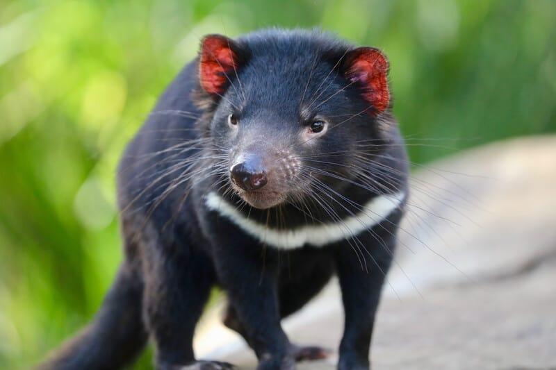 Demonios de Tasmania vuelven a recorrer Australia por primera vez en 3.000 años